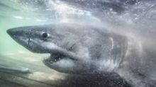 'Queen of the Ocean': 50-year-old great white shark seen off Canada coast