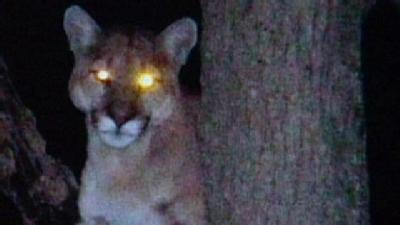 Cougar Sighting Confirmed In Platte County