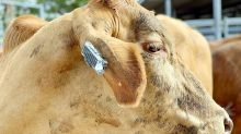 Wearable fitness trackers for cows! More useful than you can imagine