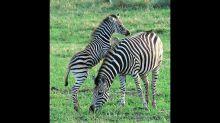Playful baby zebra starts chases bird on mom's back