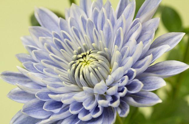 Genetic engineering creates an unnaturally blue flower