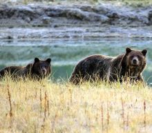 Grizzly bear approved in US state for first time in 43 years after Trump administration decides they're not under threat there anymore