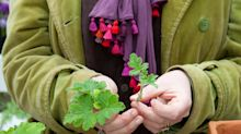 How to take quick and easy cuttings from pelargoniums
