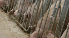 China supersizes pig farms in world's top pork market