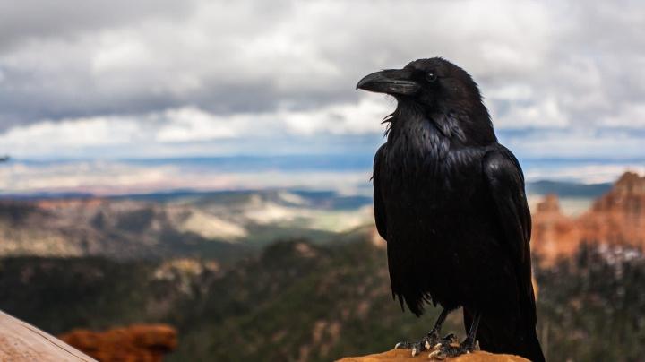 Cuervos conscientes: su canto sería una expresión voluntaria