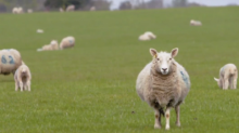 Eight-hour film of slow motion sheep dubbed 'dullest ever made'