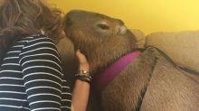 Conheça Chico: o roedor gigante que irá roubar seu coração