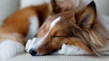 ¿Buscas un perro poco activo? Conoce las 12 razas de perro más perezosas