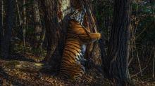 Hidden camera's tree-hugging tiger wins Wildlife Photographer of the Year 2020