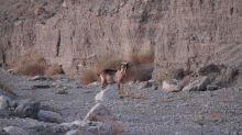 Mysterious goat appears in Death Valley National Park. That's bad news, rangers say