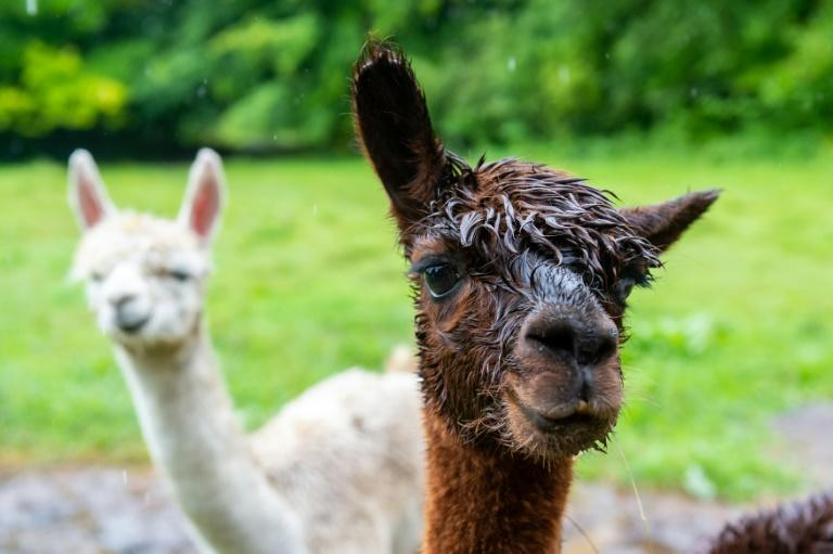 A German psychiatric hospital is offering alpaca therapy for criminals with mental illnesses