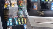 See the raccoon bandit caught red-handed during 'burglary' inside a Florida high school vending machine