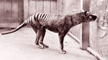 Extinction of iconic Australian animal questioned after eight 'sightings'