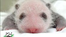 圓仔妹「熊貓眼」長出來了 黑黑眼圈好呆萌