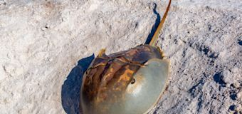 Horseshoe crab poised to play vital role in virus vaccine