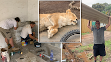Aussie tradies' sacrifice to help lions retired from the circus