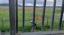 Puppy Befriends Deer Visiting Family House in Montana