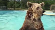 Bear goes for dip in swimming pool, almost tears it apart