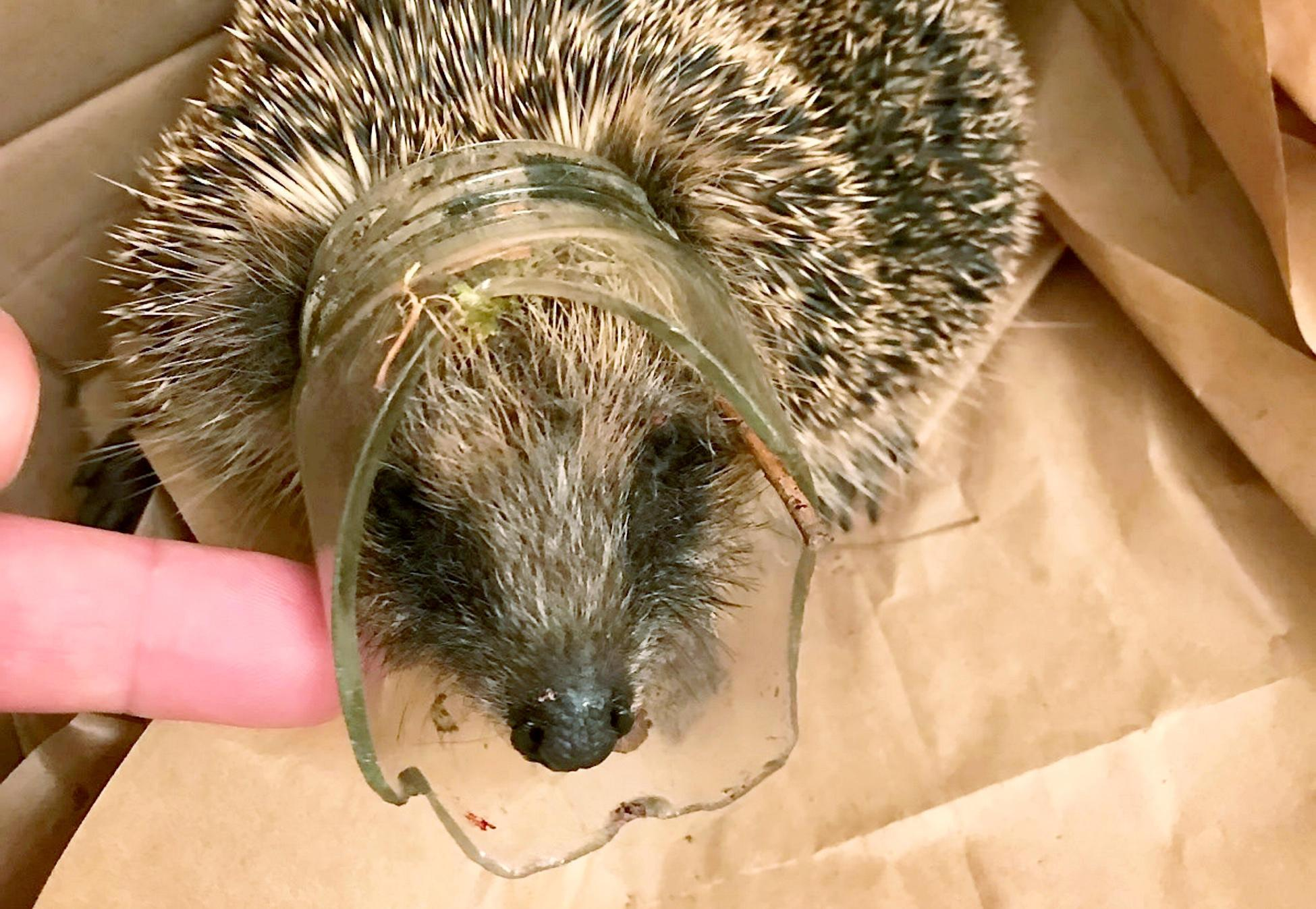 That's a pretty tricky situation! Hedgehog is lucky after being stuck in broken glass