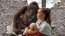Erstaunlich, wie dieser Orang-Utan auf eine stillende Mutter reagiert