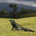 Weather report: Iguanas to fall from Florida trees