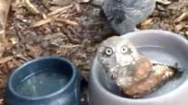 Baby Owl Takes a Bath