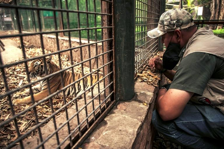 A worker looks at a bengal tiger in Culiacan zoo, Mexico, after it was handed over by its previous owner (AFP Photo/RASHIDE FRIAS)