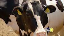 Dairy farmers brace for scorching temperatures