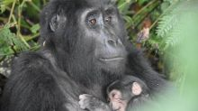 Ugandan gorillas in Bwindi park have 'baby boom'