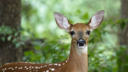 Will deer with 'zombie' disease attack humans?