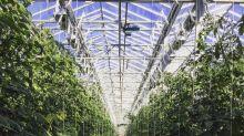 Ils font pousser des tomates bio en Islande