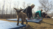 Get your goat: Animal yoga a hit at Manitoba farm