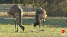 South Australian town invaded by mob of hungry emus