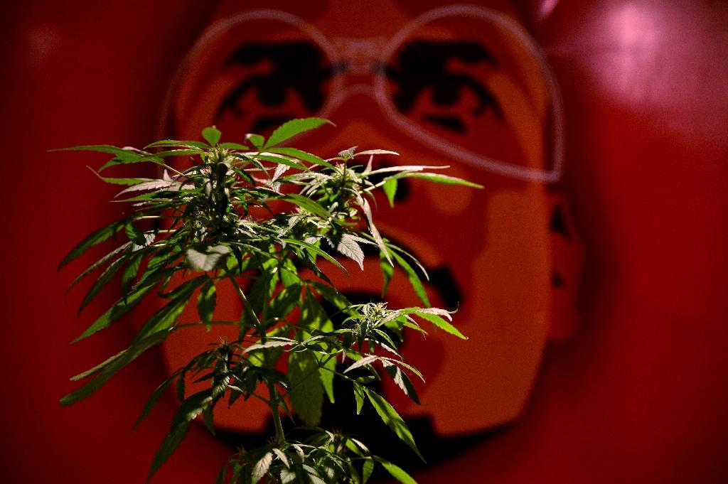 A vendor displays a marijuana plant at a medical-products fair in Bogota, Colombia, on December 22, 2015 (AFP Photo/Guillermo Legaria)