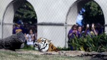 Schools with tiger mascots teaming up to save wild tiger populations