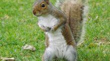 La nueva mascota de Nueva York es… ¡una ardilla come rollos!
