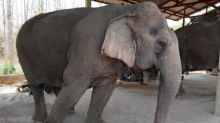 Hungry and in chains, Thailand's tourist elephants face crisis