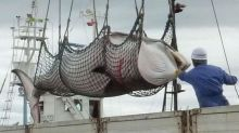 Japan kills 300 whales in annual hunt for 'ecological research'