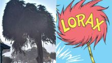 Real-Life Truffula Tree Said To Have Inspired 'The Lorax' By Dr. Seuss Falls