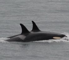 Killer Whale Finally Lets Go of Her Dead Calf After Carrying it For 17 Days