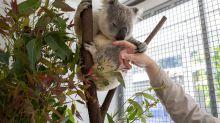 Cómo podrían ayudar a la humanidad los koalas con una ETS