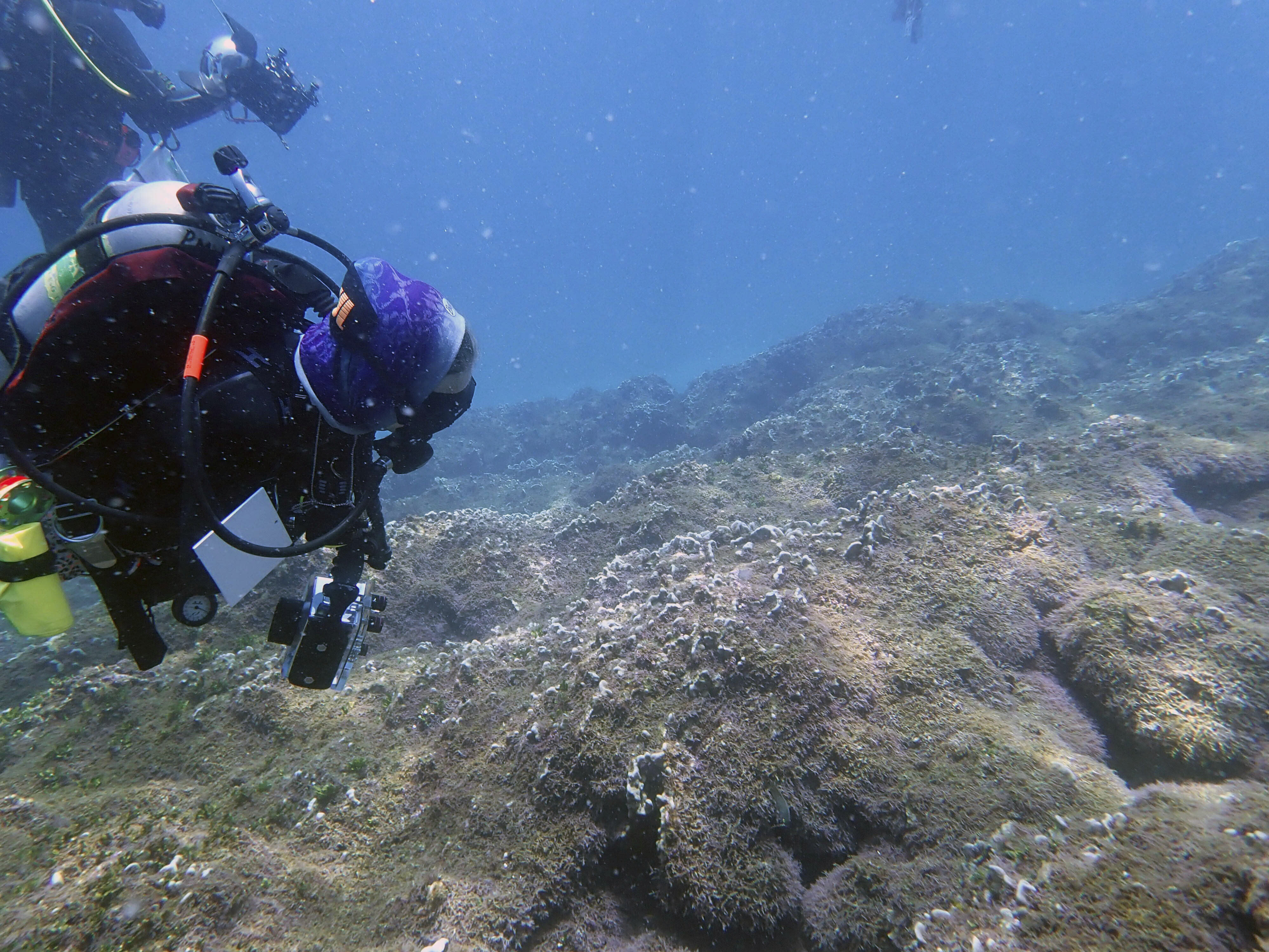 In this Aug. 9, 2019 photo provided by researcher Heather Spalding, divers look at a new species of seaweed covering a coral reef at Pearl and Hermes Atoll in the remote Northwestern Hawaiian Islands. Researchers say the recently discovered species of seaweed is killing large patches of coral on once-pristine reefs and is rapidly spreading across one of the most remote and protected ocean environments on earth. A study from the University of Hawaii and others says the seaweed is spreading more rapidly than anything they've seen in the Northwestern Hawaiian Islands, a nature reserve that stretches more than 1,300 miles north of the main Hawaiian Islands. The algae easily breaks off and rolls across the ocean floor like tumbleweed, scientists say, covering nearby reefs in thick vegetation that out-competes coral for space, sunlight and nutrients. (Heather Spalding/College of Charleston via AP)