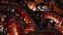 A Chinese farm is breeding 6 billion cockroaches a year for medicine