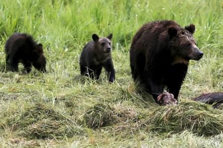 U.S. restores Yellowstone grizzlies to protected species list