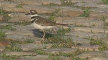 Egg-stra bad timing: Bluesfest main stage work jeopardized by nesting bird