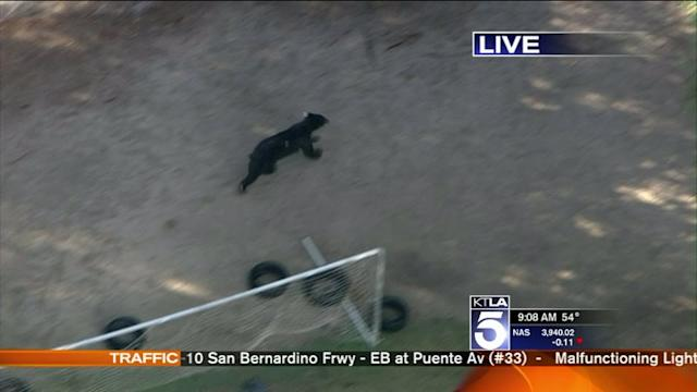 Authorities Searching for Tranquilized Bear in Granada Hills