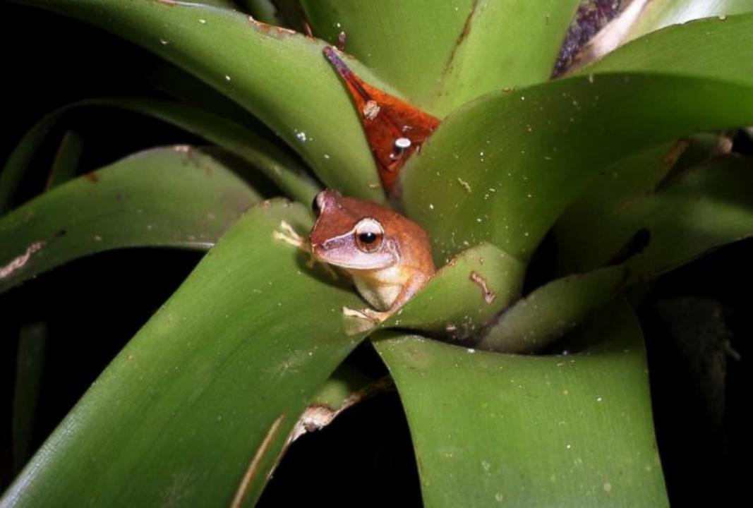 Puerto Rico's Chorus of Frogs