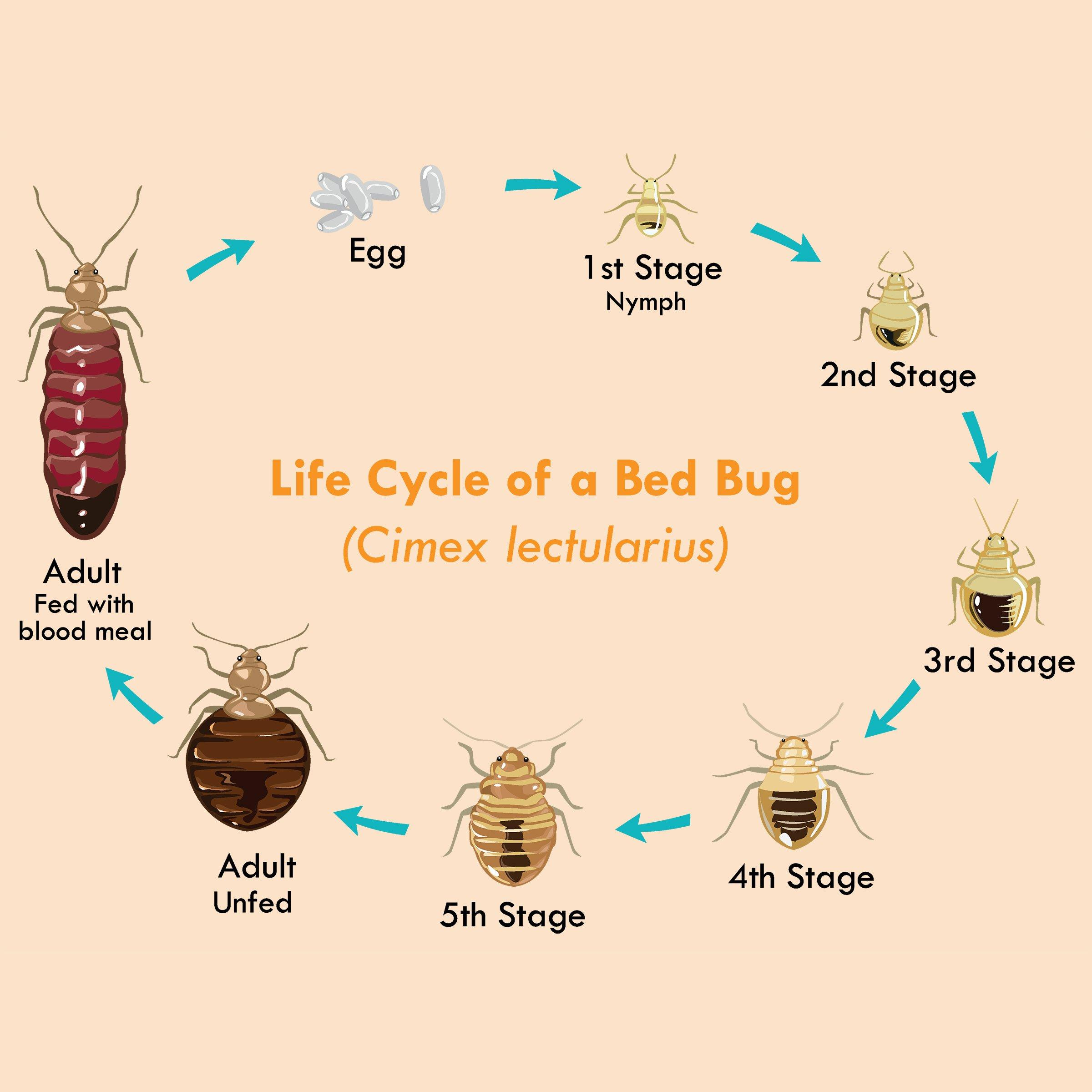 What Is The Life Cycle Of A Bed Bug