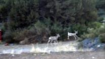Happy Deer Prances Around Arizona Mining Town