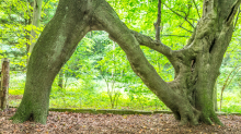 'N' shaped beech tree created to woo a woman called Nellie is crowned England's Tree of the Year